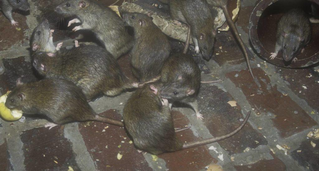 уничтожение крыс в Красноярске